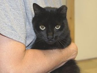 Domestic Shorthair Cat for adoption in Libby, Montana - Soot