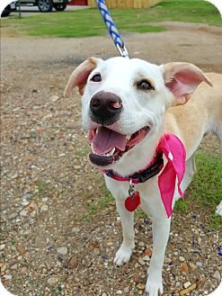 Labrador Retriever Mix Dog for adoption in Spring, Texas - Sasha