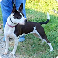 Boston Terrier Mix Dog for adoption in Dickson, Tennessee - Charlotte 9-24-16
