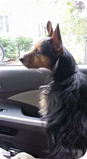 Yorkie, Yorkshire Terrier/Chihuahua Mix Dog for adoption in Willingboro, New Jersey - Max