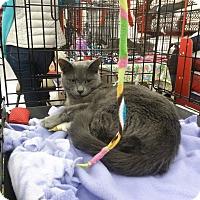 Russian Blue Kitten for adoption in Alamo, California - Daisy Mae