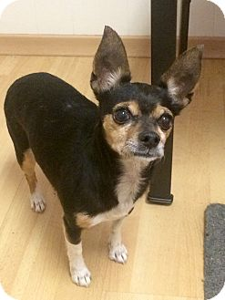 Chihuahua/Miniature Pinscher Mix Dog for adoption in Manchester, Connecticut - Princess in CT