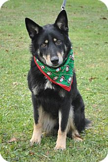 German Shepherd Dog Dog for adoption in Mt. Airy, Maryland - Durango