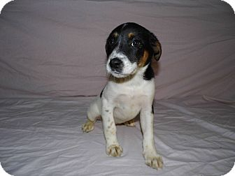 rat terrier labrador mix kelly adopted puppy bel air md rat terrier labrador 3211