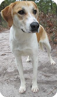 Hound (Unknown Type) Mix Dog for adoption in Forked River, New Jersey - Ginger