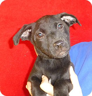 Labrador Retriever Mix Puppy for adoption in Oviedo, Florida - Reecie