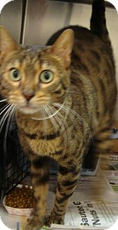 Bengal Cat for adoption in Columbus, Ohio - Katie