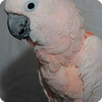 Cockatoo for adoption in Northbrook, Illinois - Rosy