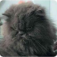 Adopt A Pet :: Miss Cleo - Davis, CA
