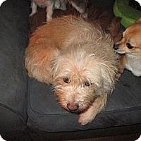 Adopt A Pet :: Lukah - Apex, NC