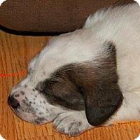 Adopt A Pet :: Callie - Rome, NY