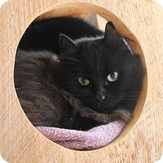 Domestic Shorthair Cat for adoption in Lunenburg, Massachusetts - Pepper