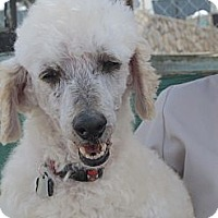 Adopt A Pet :: Jeeves - El Paso, TX