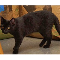 Domestic Shorthair Cat for adoption in Chattanooga, Tennessee - Ida