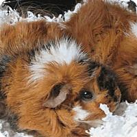 Adopt A Pet :: *Urgent* Sweetie - Fullerton, CA