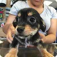 Adopt A Pet :: Sam - Claremont - Chino Hills, CA