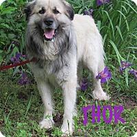 Adopt A Pet :: Thor - Kyle, TX