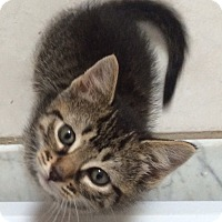 Adopt A Pet :: 7 week tiger stripe M kitten - Manasquan, NJ