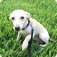 Adopt A Pet :: Andy Whippet - Aurora, CO