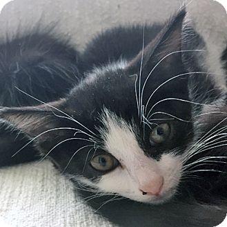 Domestic Shorthair Kitten for adoption in Mississauga, Ontario, Ontario - Marilla