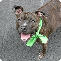 American Pit Bull Terrier Mix Dog for adoption in Manhattan, New York - Daisy