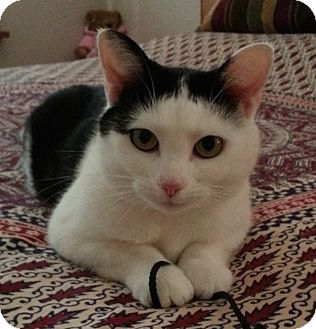 Domestic Shorthair Cat for adoption in Cincinnati, Ohio - Penny