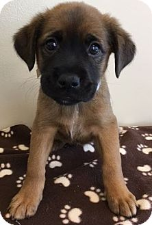 Shepherd (Unknown Type) Mix Puppy for adoption in Gahanna, Ohio - ADOPTED!!!   Hollyhock