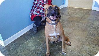 Boxer Mix Dog for adoption in Boston, Massachusetts - Joe