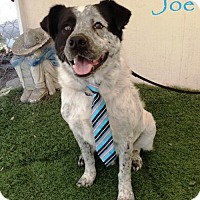 Adopt A Pet :: Joe - San Diego, CA