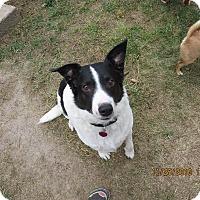 Border Collie Mix Dog for adoption in Nampa, Idaho - JACK