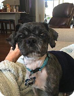 Shih Tzu Mix Dog for adoption in Alpharetta, Georgia - Tanzu