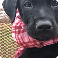 Adopt A Pet :: Puppy Weasel - Brattleboro, VT
