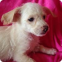 Adopt A Pet :: Blossom - Carlsbad, CA