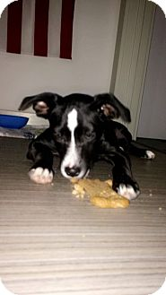 Boxer/Springer Spaniel Mix Puppy for adoption in Moosup, Connecticut - CHARLOTTE