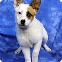 Adopt A Pet :: ZUZU - Westminster, CO