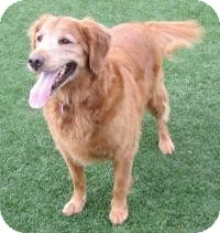 Golden Retriever Mix Dog for adoption in Scottsdale, Arizona - Ruka