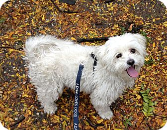 Poodle (Miniature)/Maltese Mix Dog for adoption in New York, New York - Penelope