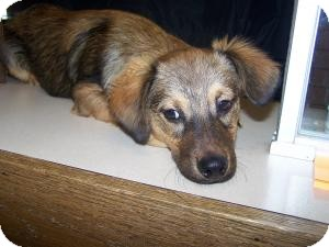Ace Adopted Dog Sidney Oh Sheltie Shetland