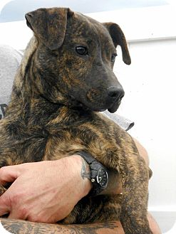 Mountain Cur/Plott Hound Mix Puppy for adoption in Dallas, North Carolina - PIPPA