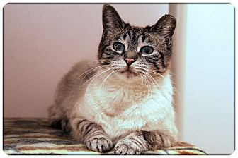 Siamese Cat for adoption in Sterling Heights, Michigan - Jolee - ADOPTED!