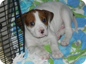 Mastiff/Boxer Mix Puppy for adoption in Marlton, New Jersey - Baby Jase
