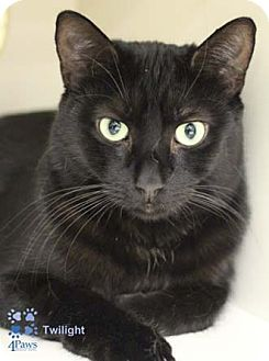 Domestic Shorthair Cat for adoption in Merrifield, Virginia - Twilight