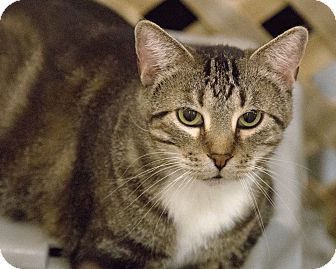 Domestic Shorthair Cat for adoption in Alden, Iowa - Marion