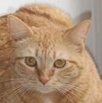 Domestic Mediumhair Cat for adoption in Midway City, California - Tammy