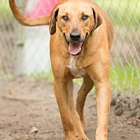 Adopt A Pet :: Brutus - Havana, FL