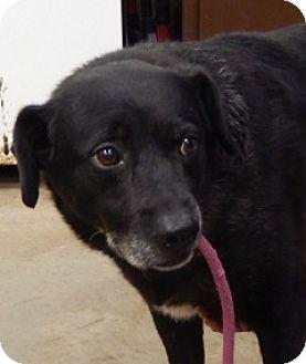 Labrador Retriever Mix Dog for adoption in Amarillo, Texas - Homer