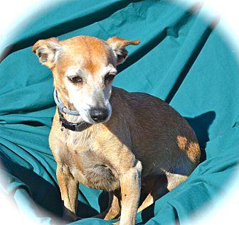 Chihuahua/Dachshund Mix Dog for adoption in Blanchard, Oklahoma - Bert