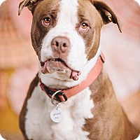 Adopt A Pet :: Dilinger - Portland, OR