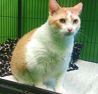 Domestic Shorthair Cat for adoption in Barnwell, South Carolina - Missy