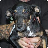 Adopt A Pet :: Cora - Brooklyn, NY